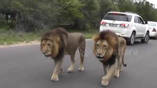 Male lions 'weave' through traffic in South Africa  Animals